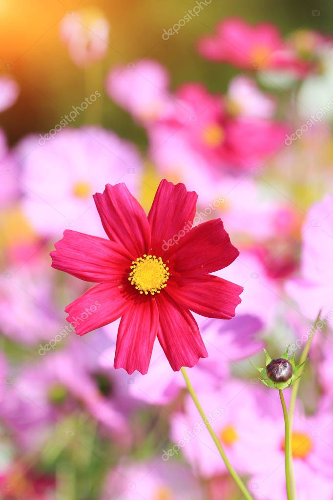 Close up red cosmos flower.