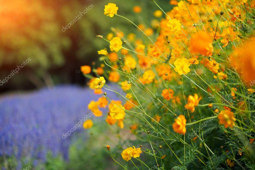 Beautiful orange and yellow cosmos flowers in garden field