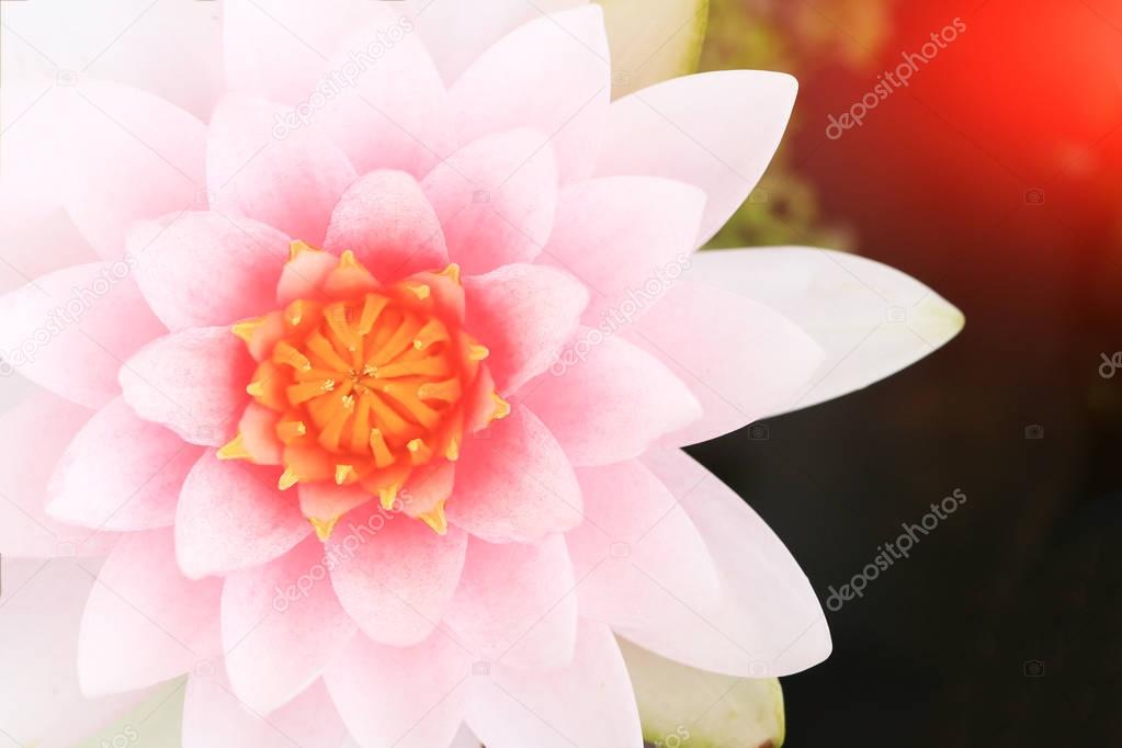 Macro close up petal pink lotus flower.