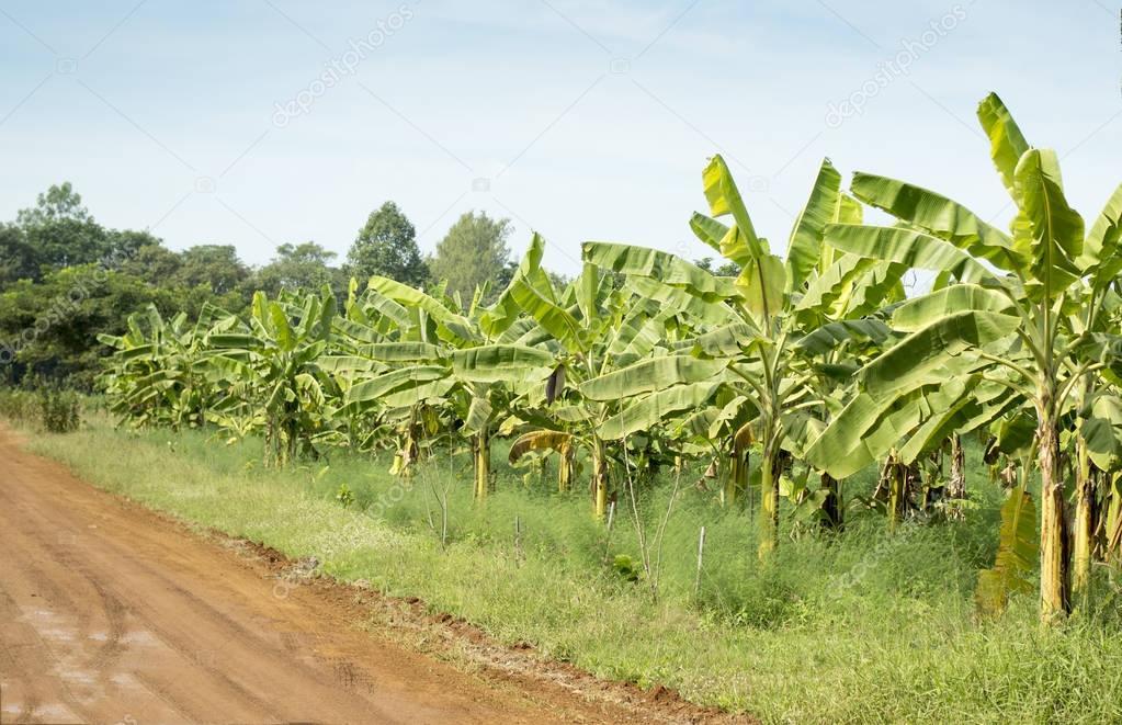 Banana plantations, farm field.