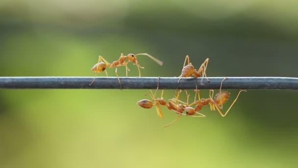 Zblízka červené weaver mravenčí práci. Zelená zahradní pozadí
