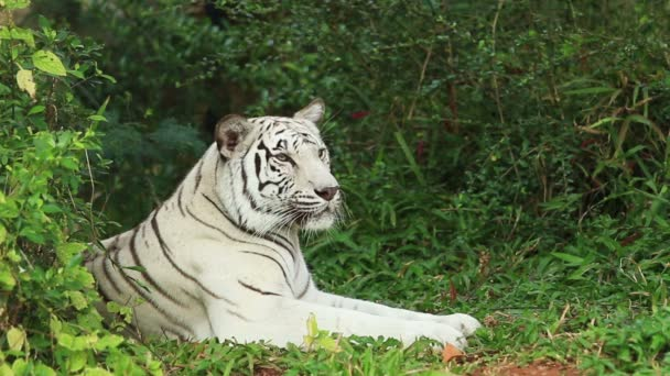 White Tiger resting in forest.