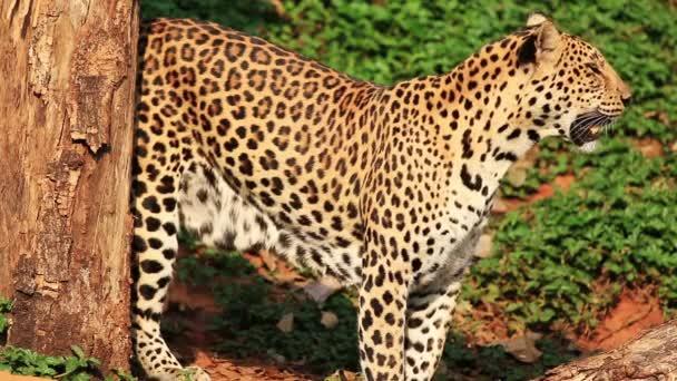 Indochinese Leopard walking around.