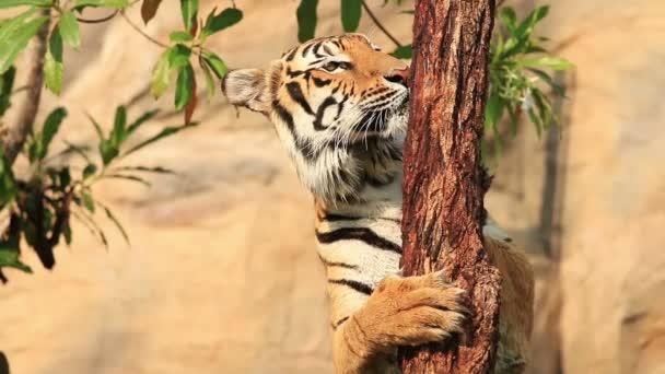 Indokínai tigris-séta körül..