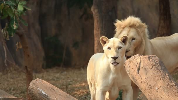 White lion (Panthera leo), lioness are playful.