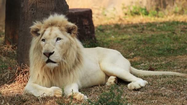 Riposo maschio del leone bianco