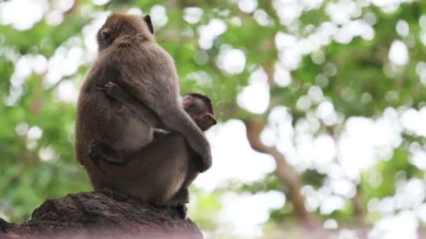 Mother monkey nursing child.