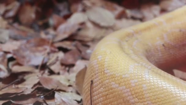 Detailní záběr zlatá Thajská Python (Python bivittatus) hadí kůže.