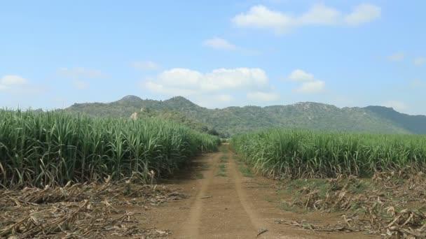 Úton a cukornád területen készen áll a betakarítás.