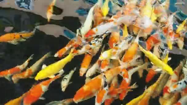 Ozdobný kapr fish koupat v rybníku