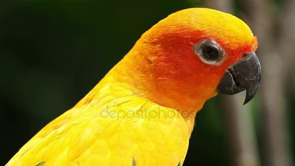 Detailní záběr roztomilé slunce Conure papoušek pták