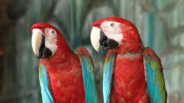 Red Conure parrot bird.