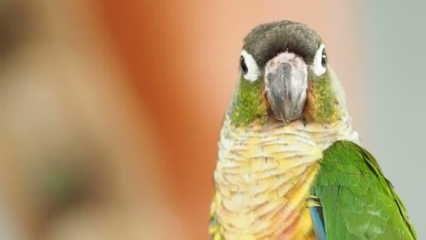 Zelená Conure papoušek pták