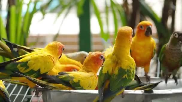 Close up Cute Sun Conure parrot bird.