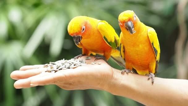 Close Up Aranyos nap Conure papagáj madarak.