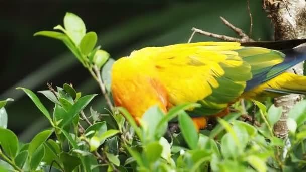 aus nächster Nähe niedliche Sonne conure Papageienvogel.