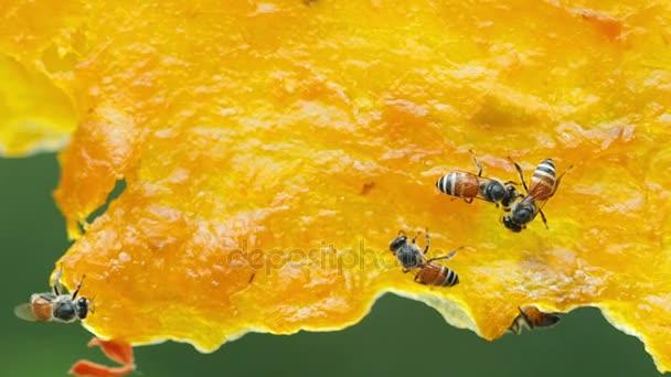 Dolgozik a száraz sárga mangó.