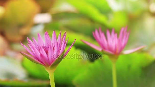 Méhek és a pink lotus szél.