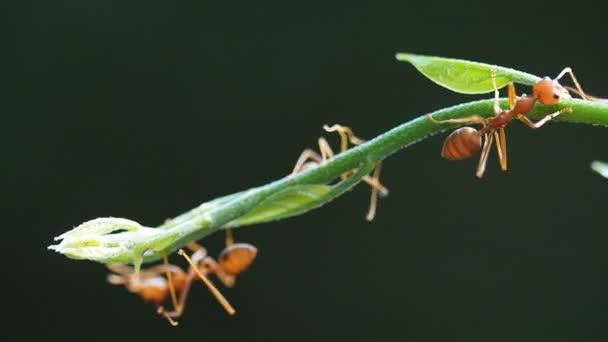 Super alto vicino di macro, formica del tessitore rosso lavorando su foglie di albero verde