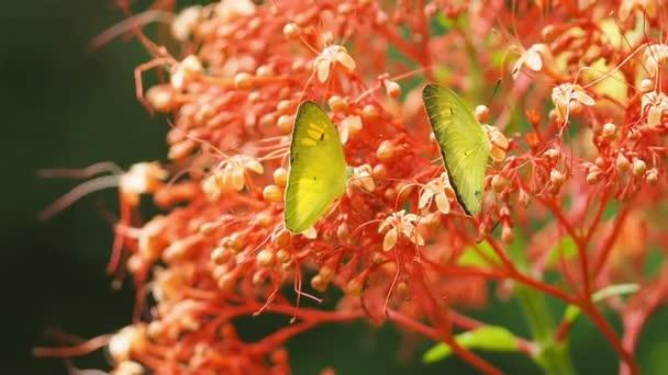 Pieridae Appias albina yellow butterflies are eat nectar flower.