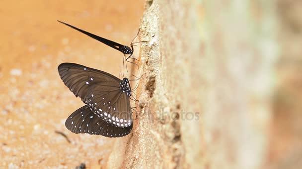 Euploea radhamantus černé motýly jsou jíst minerální