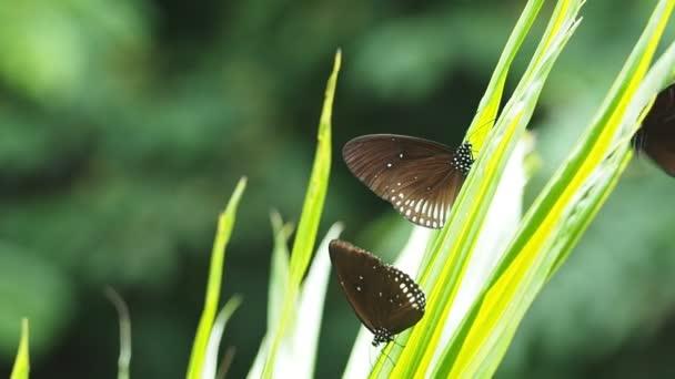 Euploea radhamantus černé motýly jsou jíst minerální na zelených listech
