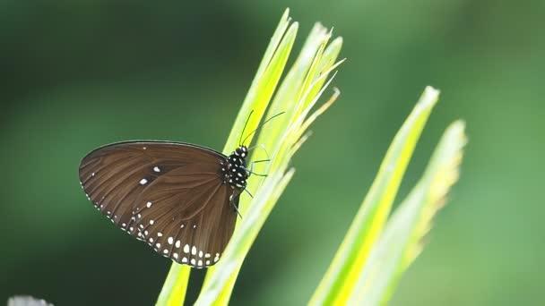 Euploea radhamantus schwarze Schmetterlinge fressen Mineral auf grünen Blättern.
