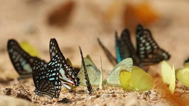 Motýli jsou jíst minerální na drcené, vyberte aktivní.