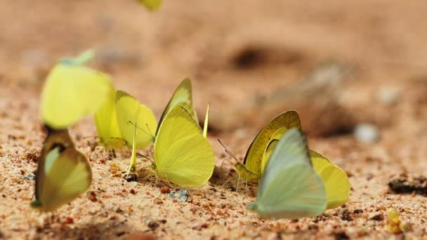 Butterflies are eat mineral on the ground, Select focus.
