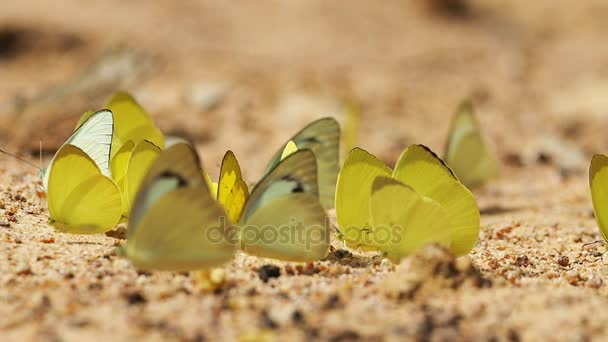 Pieridae Appias albina žluté motýli jsou jíst minerální
