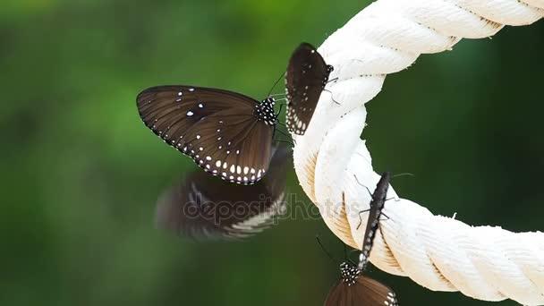 Euploea radhamantus schwarze Schmetterlinge fressen Mineralstoffe.