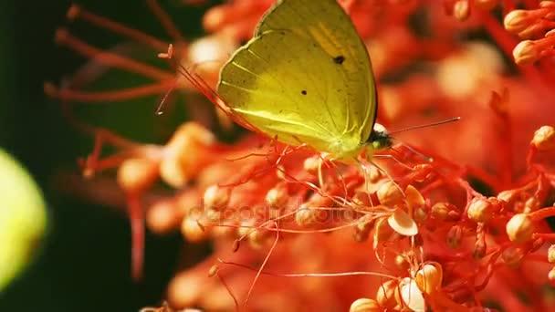 Pieridae Appias albina giallo farfalle sono mangiare nettare fiore.