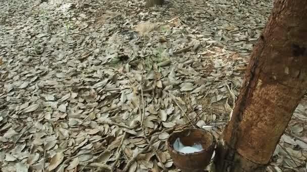 milchiges Latex aus Naturkautschuk, hevea brasiliensis.camera tilt.