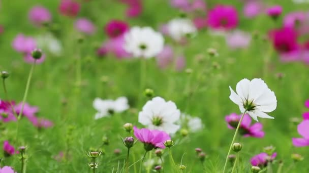 Caricias Depositphotos_156488228-stock-video-purple-and-white-cosmos-flower