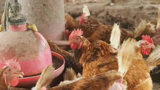 Hen egg, Chicken in farm.