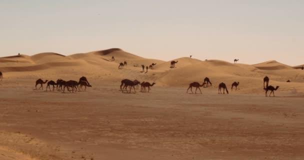Dromedaries, Camels In Sahara Desert, Morocco