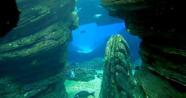 Magellán-pingvin Magellanicus keresztül egy hasadék - egyede megtalálható úszás