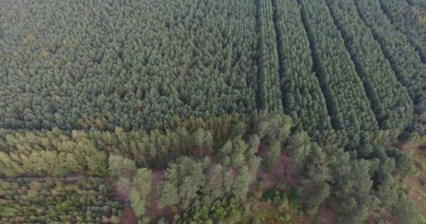 Hnutí z pohledu dron podél dge mladých lesů zasazeny v rovných řadách