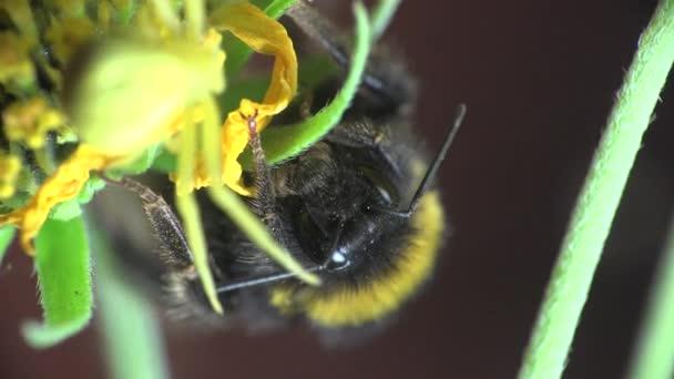 Čmelák sedí na žlutý květ a žluté kopretinový běží kolem, makro hmyzu