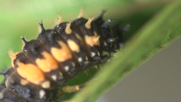 Hmyzí makro: instar druhé vývojové fázi Beruška brouk na zelený list