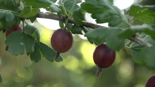 Dark gooseberries macro growing on a branch in the garden on green background