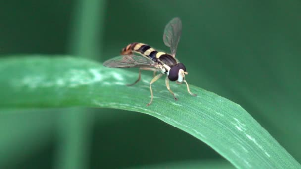 Hoverfly Sphaerophoria Rueppellii, fly hovering or nectaring, macro view insect