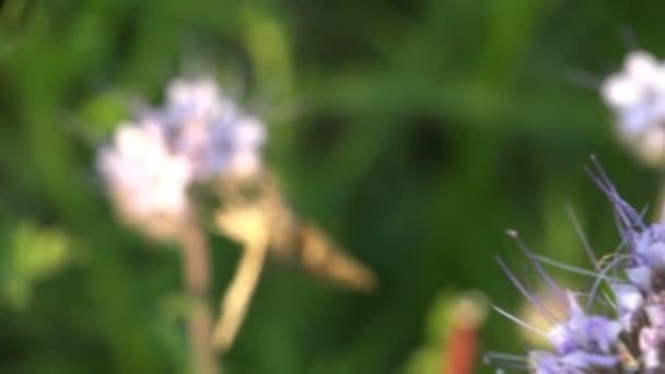 Rovar bézs szőrös pillangó nektárt iszik a makró lila virágok
