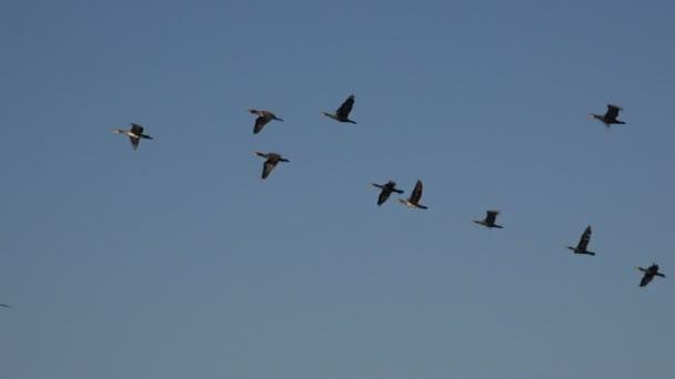Vögel fliegen in einem Schwarm über das Meerwasser sehr niedrig, Wanderung von Wildenten