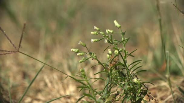 White Tragopogon As Goatsbeard or salsify of flowering plants swaying in wind