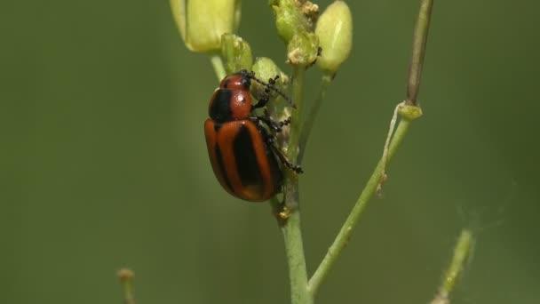Pohled ze všech stran Orange Oides Leaf Beetle, čeledi Chrysomelidae, sedí na letním poli rostliny mléčného plevele
