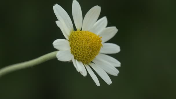 Medical chamomile on dark background, growing on wild field. Insect view macro in wildlife