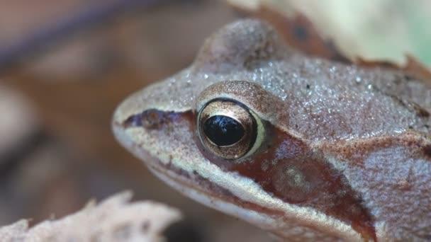 Porträtreptil, Europäischer Brauner Frosch, rana temporaria, Gemeiner Frosch sitzt auf gelbem Laub im Herbstwald. Makrosicht in der Natur