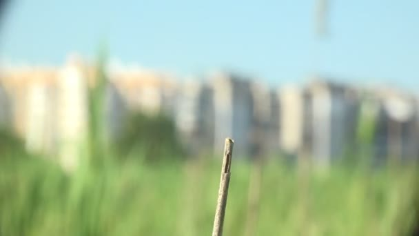 Szitakötő rend Odonata, ül a száraz szárú fű ellen kék ég és a háttér város. Makró rovar. Makró megtekintése a vadon élő állatokban