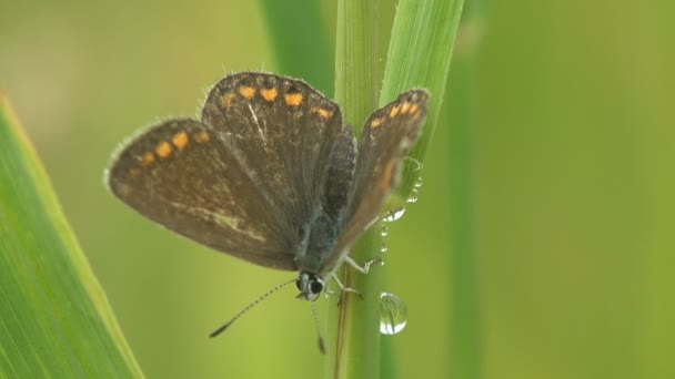 Dark butterfly with yellow dots around edges sits on green stem, covered with dew drops among wild meadow. Macro insect and plant
